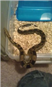Uploaded by Fanatic-Reptiles
